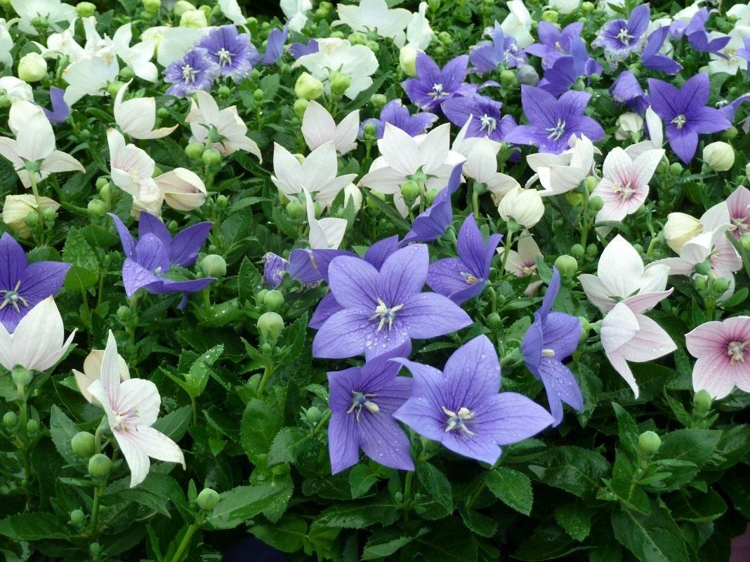 Плакидон цветок выращивание