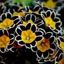 Первоцвет, или Примула (Primula)