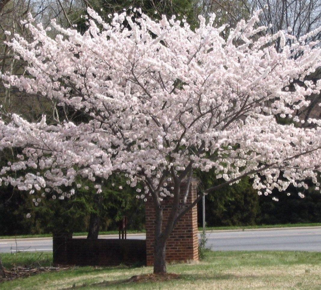 Prunus-yedoensis-23
