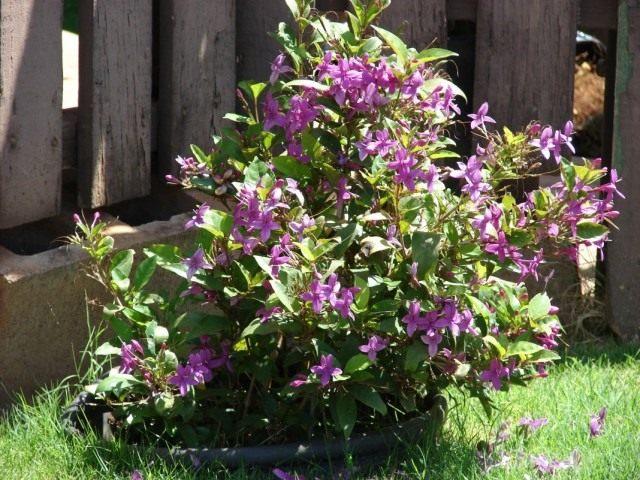 Псевдоэрантемум, высаженный на лето в сад