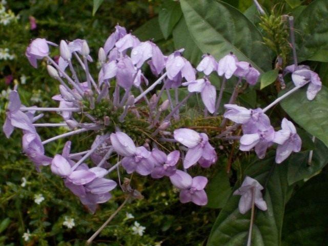 Псевдоэрантемум Андерсона (Pseuderanthemum andersonii)