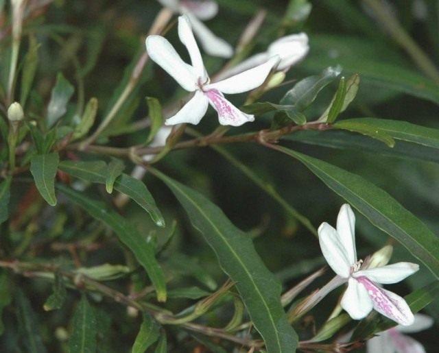 Псевдоэрантемум длинноцветковый