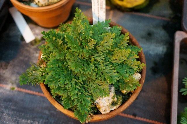 Селагинелла чешуелистная (Selaginella lepidophylla)