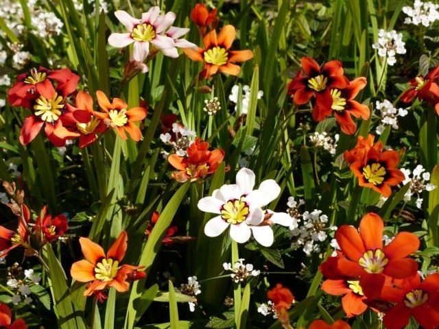 Спараксис трехцветный (Sparaxis tricolor)