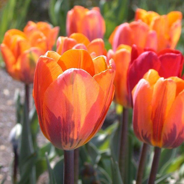 Tulip-Prinses-Irene-02