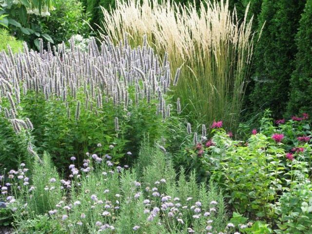 Выращиваем лофант на садовом участке