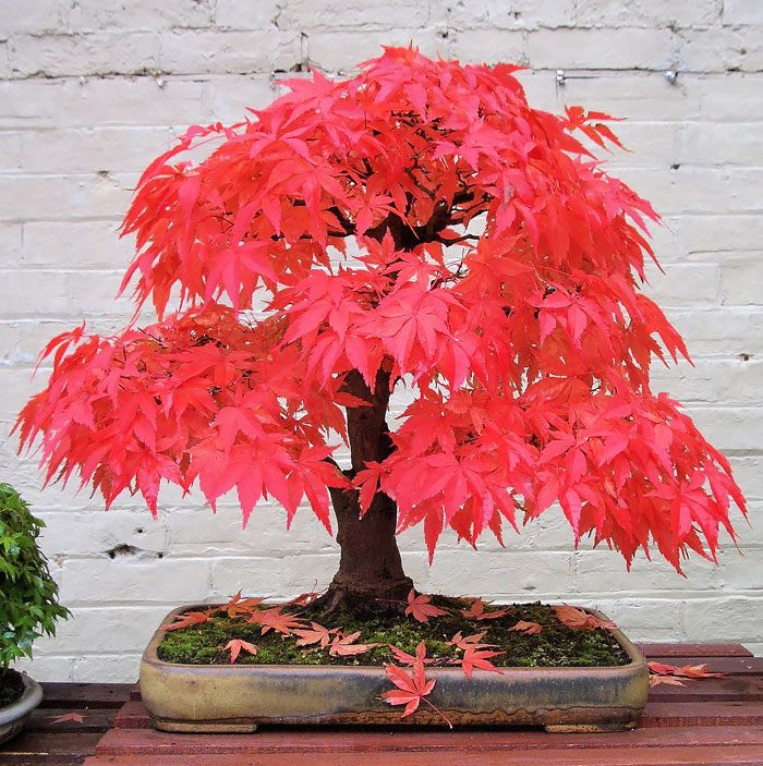 amazing-bonsai-trees-4-5710e792c2477__700