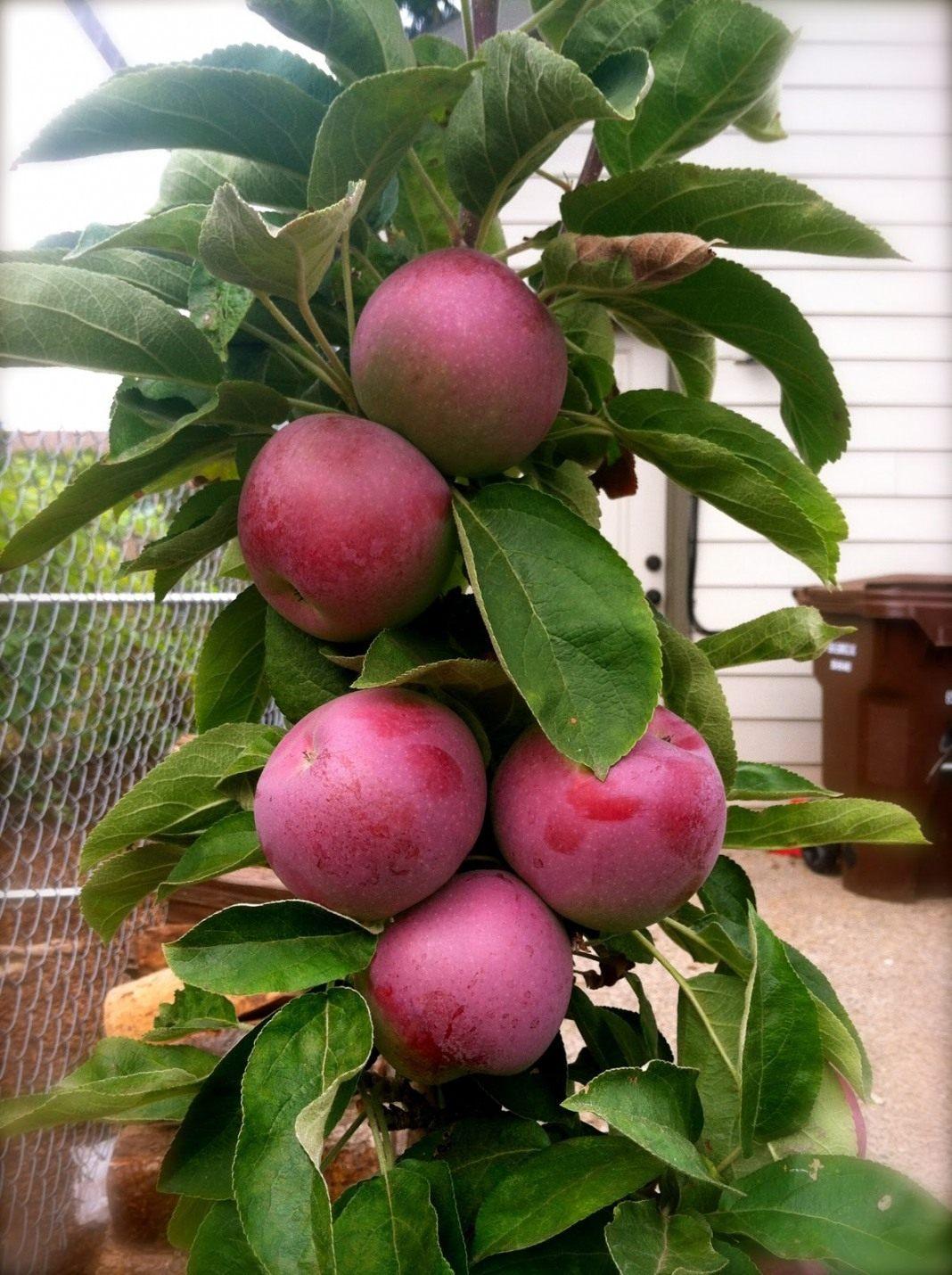 Колоновидная яблоня: особенности дерева, посадка и уход
