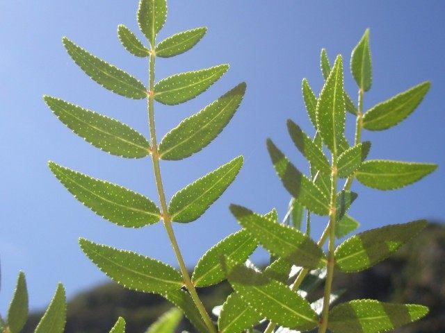 Листья ясенца