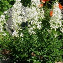 Ясенец в цветнике