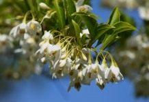 Ландышевое дерево, или Галезия  —  изящный раритет