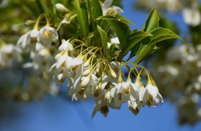 Халезия, или Галезия горная. В народе носит название «Ландышевое дерево». © Carlin