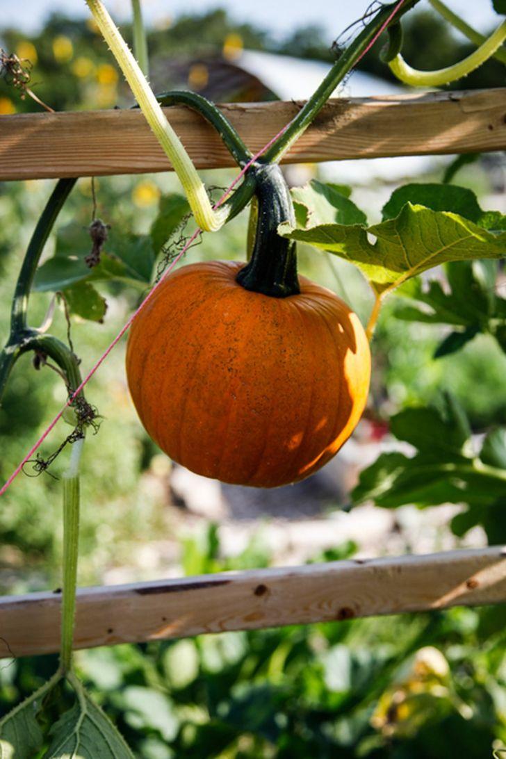 Выращивание тыквы в открытом грунте, ЧАСТНЫЙ ДОМ