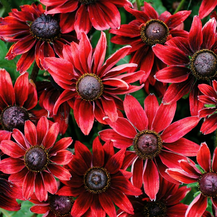 rudbeckia-cherry-brandy-01