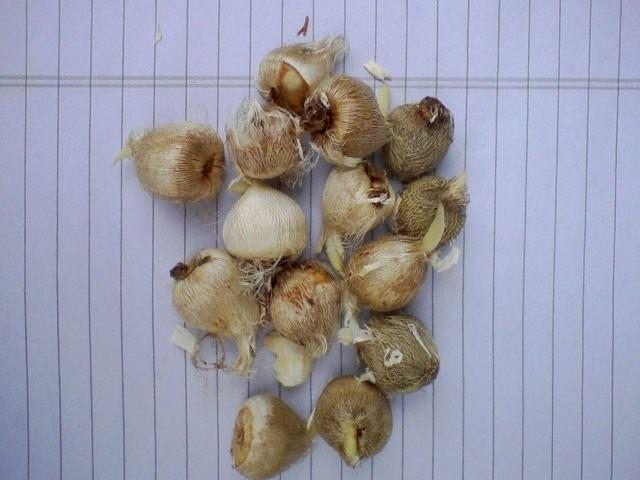 Луковицы спараксиса