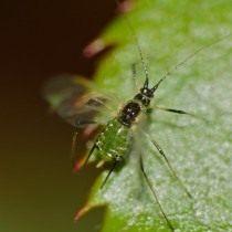 Крылатая форма Зелёной розанной тли (Macrosiphum rosae)