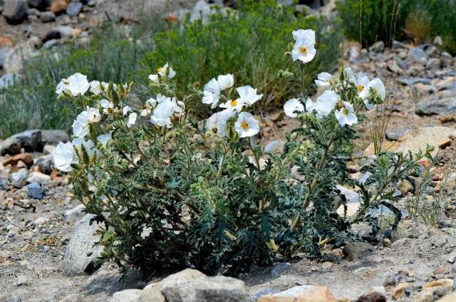 Аргемона защищенная, или Чикалоте, или Колючий мак (Argemone munita)