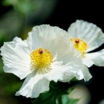 Аргемона белая (Argemone alba)