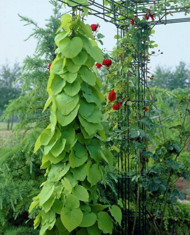 Кирказон крупнолистный, или Кирказон трубочный (Aristolochia macrophylla)
