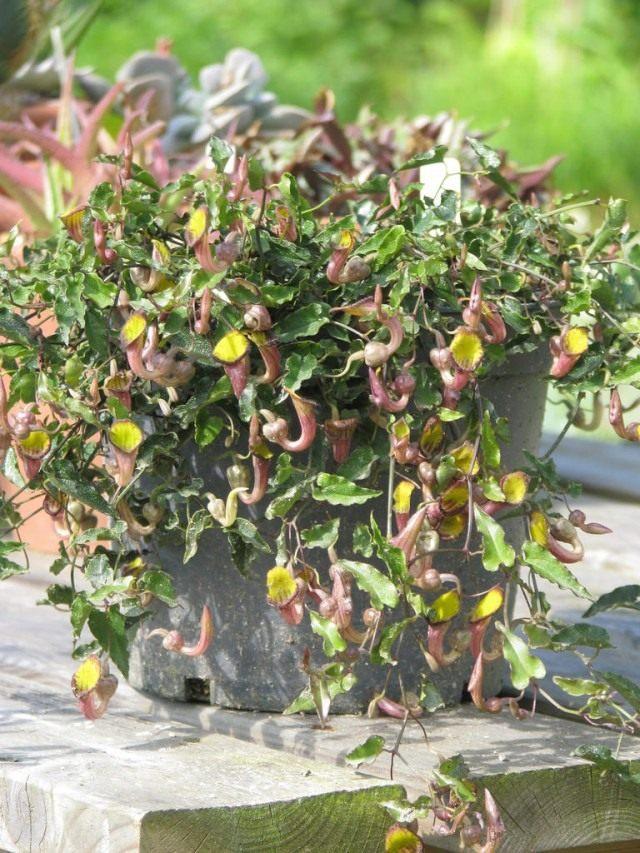 Кирказон вечнозеленый (Aristolochia sempervirens)
