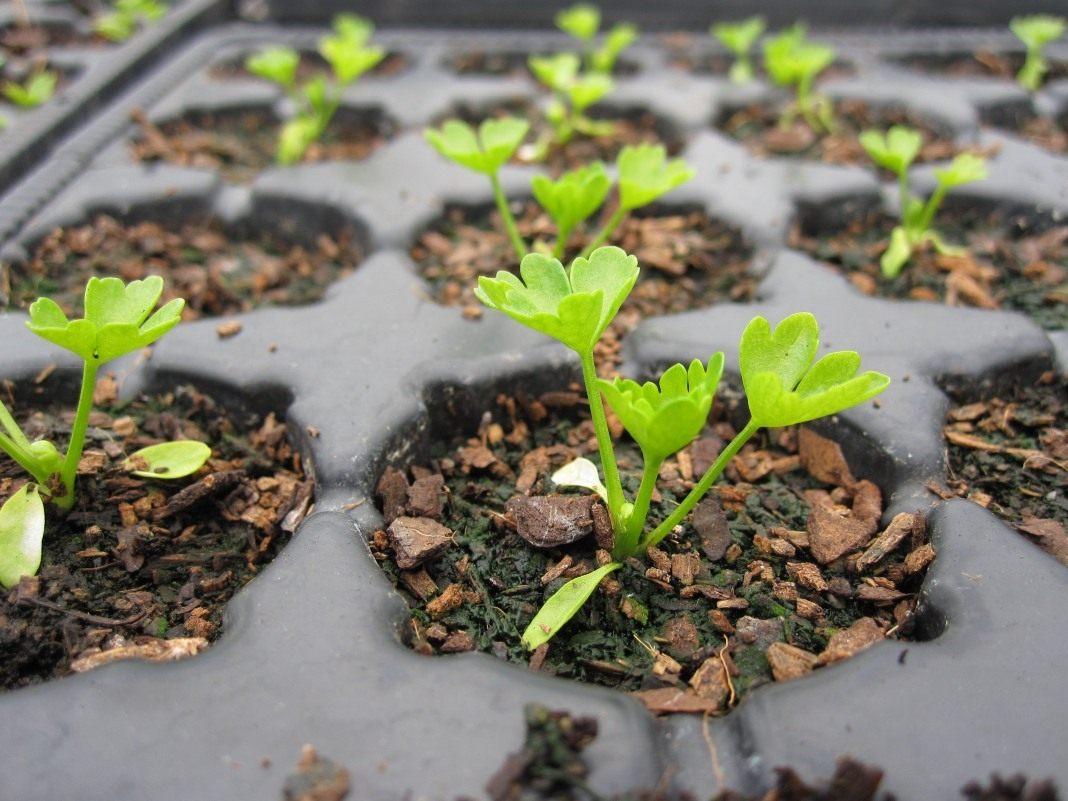 Как сажать сельдерей из семян