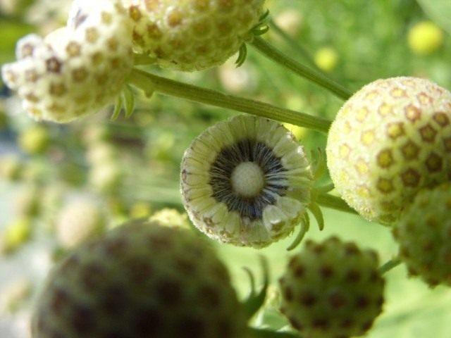 Гелениум ароматный, или Цефалофора ароматная (Helenium aromaticum syn. Cephalophora aromatica)