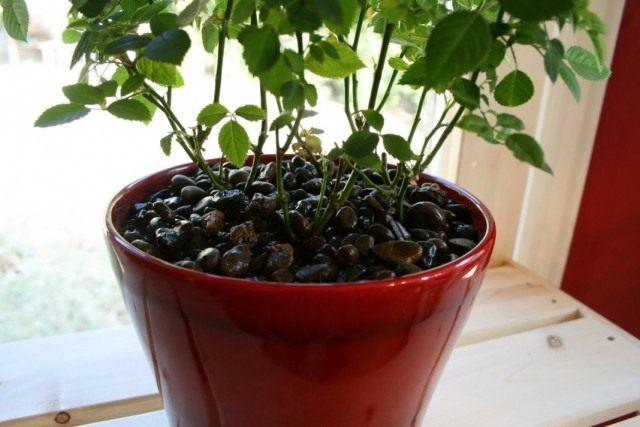 Комнатное растение в горшке с дренажем
