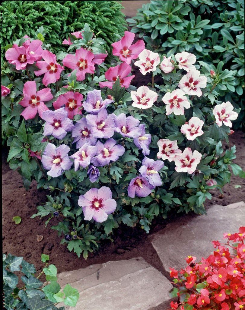 Гибискус садовый древовидный выращивание и уход 38