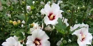 Гибискус сирийский (Hibiscus syriacus)