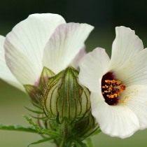Гибискус тройчатый, гибискус северный (Hibiscus trionum)