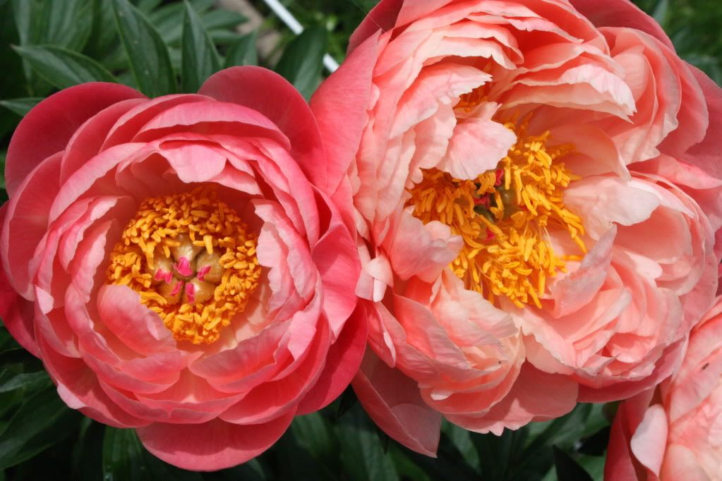 Paeonia-Coral-Charm-2