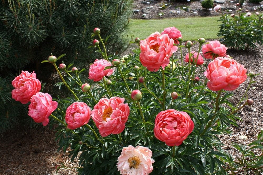 Paeonia-Coral-Charm-3