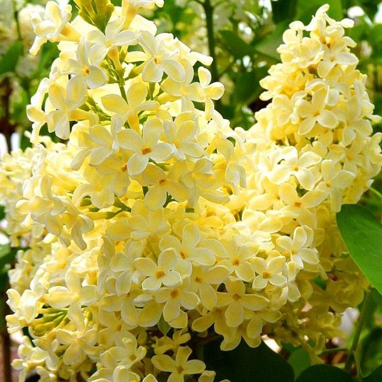 Syringa-vulgaris-Primrose1