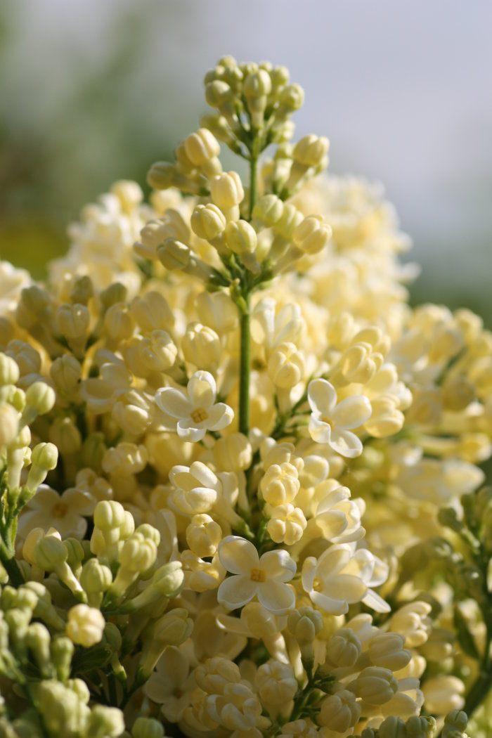 Syringa-vulgaris-Primrose4