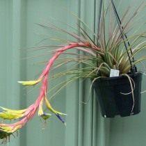 Тилландсия трехцветная (Tillandsia tricolor)