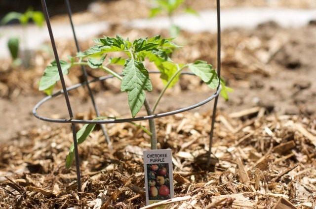 Высаженная в мае рассада томата