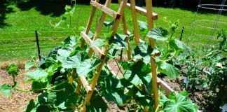 Сформированный куст огурца на шпалере
