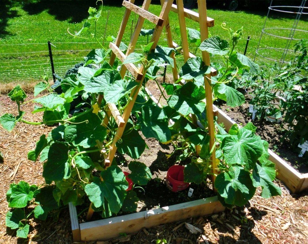 выращивание огурцов на шпалере фото фотограф