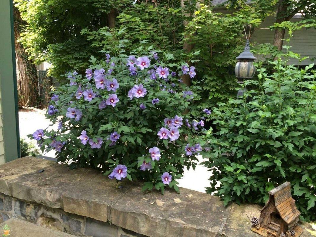 Гибискус садовый древовидный выращивание и уход 80