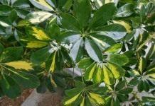 Листья комнатного растения обработанные блеском для листьев