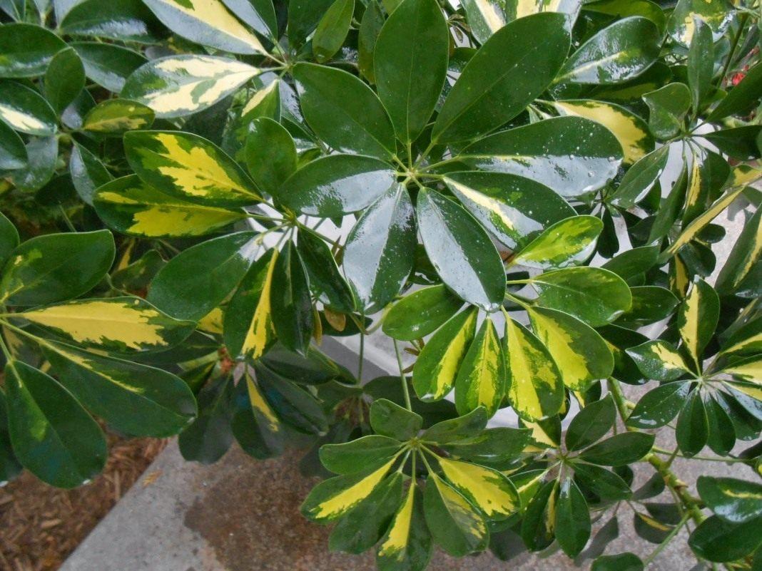 Комнатный цветок много листьев
