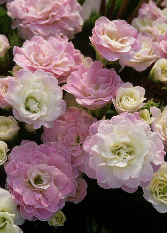 primula-belarna-pink-ice-1