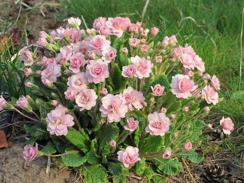primula-belarna-pink-ice-3