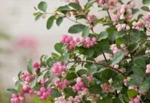 "Снежноягодники Доренбоза ""Меджикал свит"" (Symphoricarpos x doorenbosii 'Magical Sweet')"