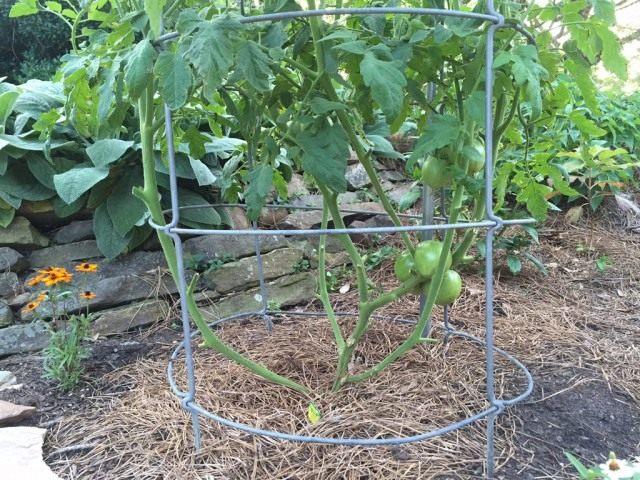 Формирование детерминантных кустов томата