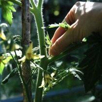 Пасынкование томата