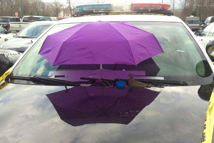 2police-bird-umbrella-dove-nest-car-hood-parma-3