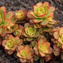 Эониум декоративный (Aeonium decorum)
