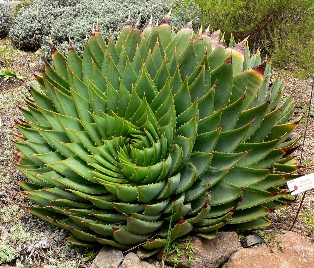 Aloe-polyphylla