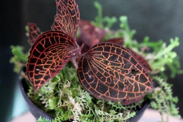Анектохилус Роксбурга (Anoectochilus roxburghii)